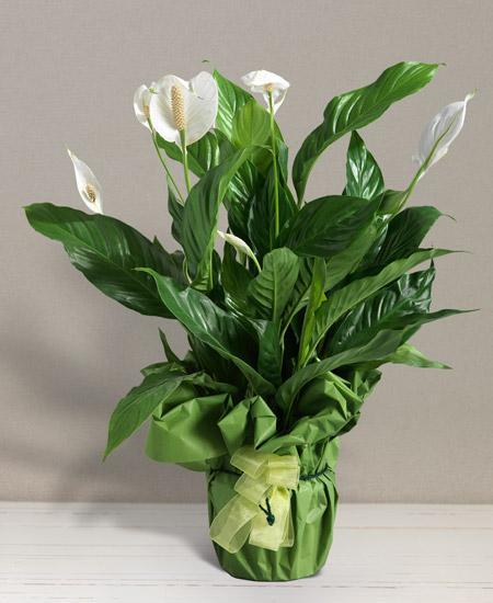 Bouquet de fleurs Spatiphyllum
