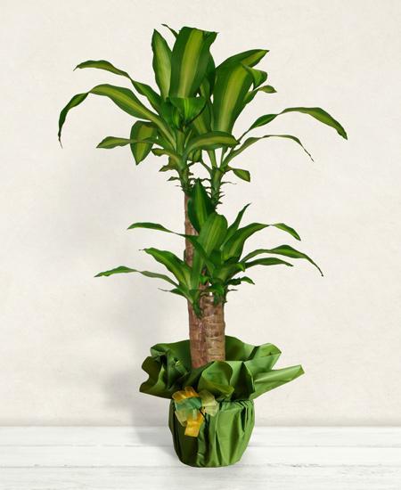 Bouquet de fleurs Dracena Plant